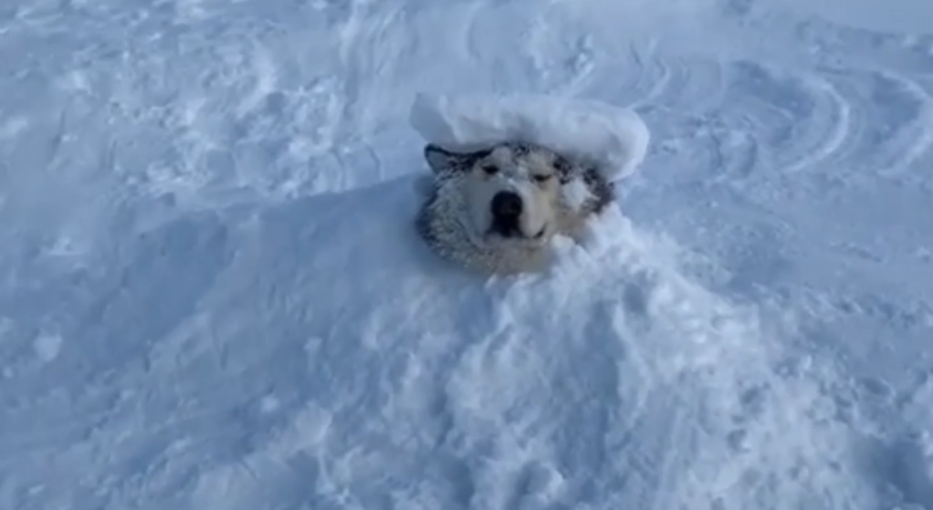 Video Shows Malamute Relaxing While Being Buried In The Snow Wsvn 7news Miami News Weather Sports Fort Lauderdale This is meant for you to take notice. video shows malamute relaxing while